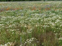 Wild daisies in the meadow. stock photography