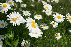 Wild daisies in summer Stock Photos
