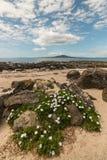 Wild daisies on Takapuna beach Royalty Free Stock Photo