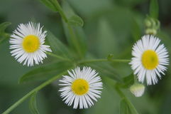 Wild daisies. Three summer blooming flower field Stock Images