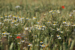 Wild Daisies in a wheat field Stock Photo