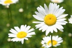 Wild Daisy Royalty Free Stock Image