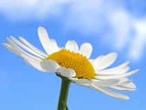 Wild daisy Stock Images