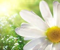 Wild daisy Royalty Free Stock Image