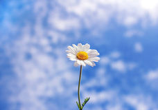 Wild daisy against blue sky with light clouds. Wild daisy against blue sky with light white clouds Royalty Free Stock Photography