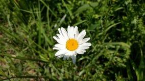 Wild daisy Royalty Free Stock Photo
