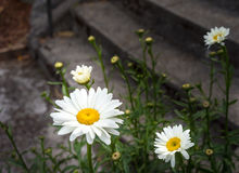 Wild daisy blooming Royalty Free Stock Images