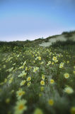 Wild Daisy Blur. A wide angle view of wild daisies with a creative soft focus blur around the edges Stock Photography