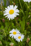 Wild daisy Royalty Free Stock Photos