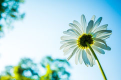 Chamomile. Wild daisy in the field Royalty Free Stock Images