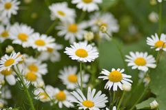 The wild daisy flower. Bellis perennis is a common European species of daisy, of the Asteraceae family, often considered the archetypal species of that name stock photos