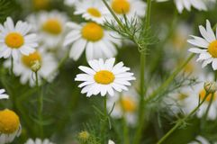 The wild daisy flower on the field. Bellis perennis is a common European species of daisy, of the Asteraceae family, often considered the archetypal species of royalty free stock images