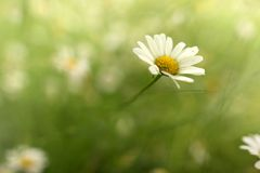 Wild daisy flower in a summer meadow. Background blanked out blurry Royalty Free Stock Photo