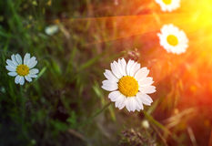 Wild daisy flower at sunset. Stock Images