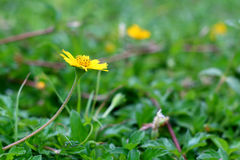 Wild daisy flowers growing on green meadow Stock Images