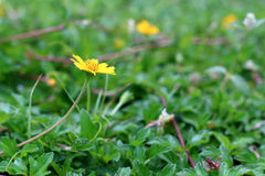 Wild daisy flowers growing on green meadow. Daisy flowers growing on green meadow Royalty Free Stock Photos