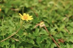 Wild daisy flowers growing on green meadow. Daisy flowers growing on green meadow Stock Photography