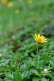 Wild daisy flowers growing on green meadow Stock Photo