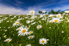Wild Daisy Flowers In Spring Royalty Free Stock Photos