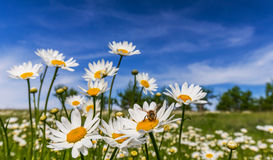Wild daisy flowers in spring Stock Photography