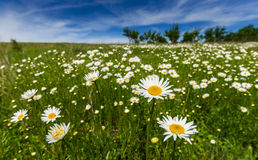 Wild daisy flowers in spring Stock Photo