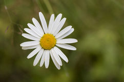 Wild daisy on green background Royalty Free Stock Photography