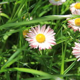 Wild daisy Royalty Free Stock Images