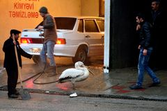 Wild Dalmatian pelican (Pelecanus crispus) caught and kept on a leash in Baku, capital of Azerbaijan Royalty Free Stock Photo