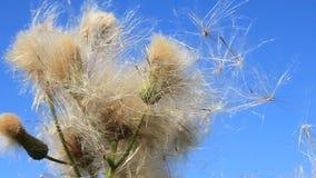 Wild dandelion stock video