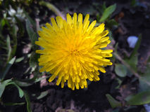 Wild dandelion flower, close up. Royalty Free Stock Photography