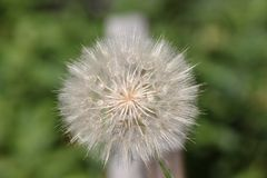 Wild Dandelion Seeds in Bloom. An isolated view of full bloom of wild Dandelion seeds with blurred green in the background royalty free stock image