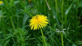 Wild dandelion in spring grass stock footage