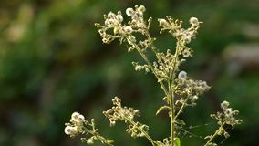 Wild dandelion and wind stock video