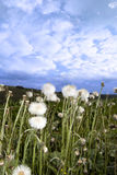 Wild dandelions in lush irish countryside Stock Images