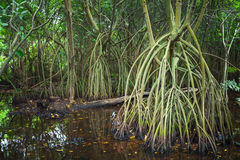 Wild dark tropical forest landscape, mangrove trees Royalty Free Stock Photos
