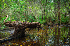 Wild dark tropical forest landscape with mangrove trees Stock Images