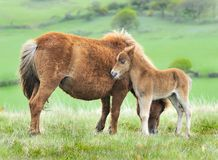 Wild Dartmoor foal and mother. Wild Dartmoor pony, mother and foal Stock Image