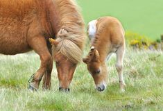 Wild Dartmoor mother and foal. Wild Dartmoor pony, mother and foal Stock Images