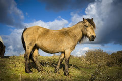 Wild Dartmoor Pony Royalty Free Stock Image