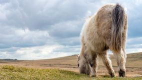Wild dartmoor pony grazing grass on the moors Stock Photography