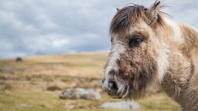 A wild Dartmoor pony stares at the camera Stock Photos