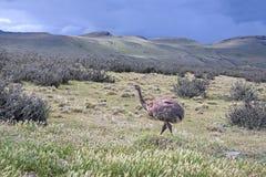 Wild Darwin's Rhea Stock Images