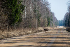Wild dear crossing the road Stock Images