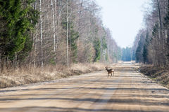 Wild dear crossing the road Royalty Free Stock Photography