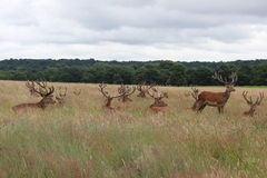 Wild dears Royalty Free Stock Photos