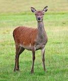 Wild Deer. Royalty Free Stock Image