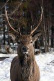 Wild deer. Herd in winter in Glencoe Scottish Highlands UK Stock Photos
