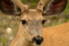 Wild deer. In rocky mountains, canada Royalty Free Stock Images