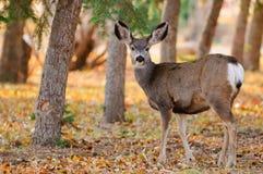 Wild Deer. Wild mule deer in the forest Stock Photography
