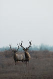 Wild deer Royalty Free Stock Photos
